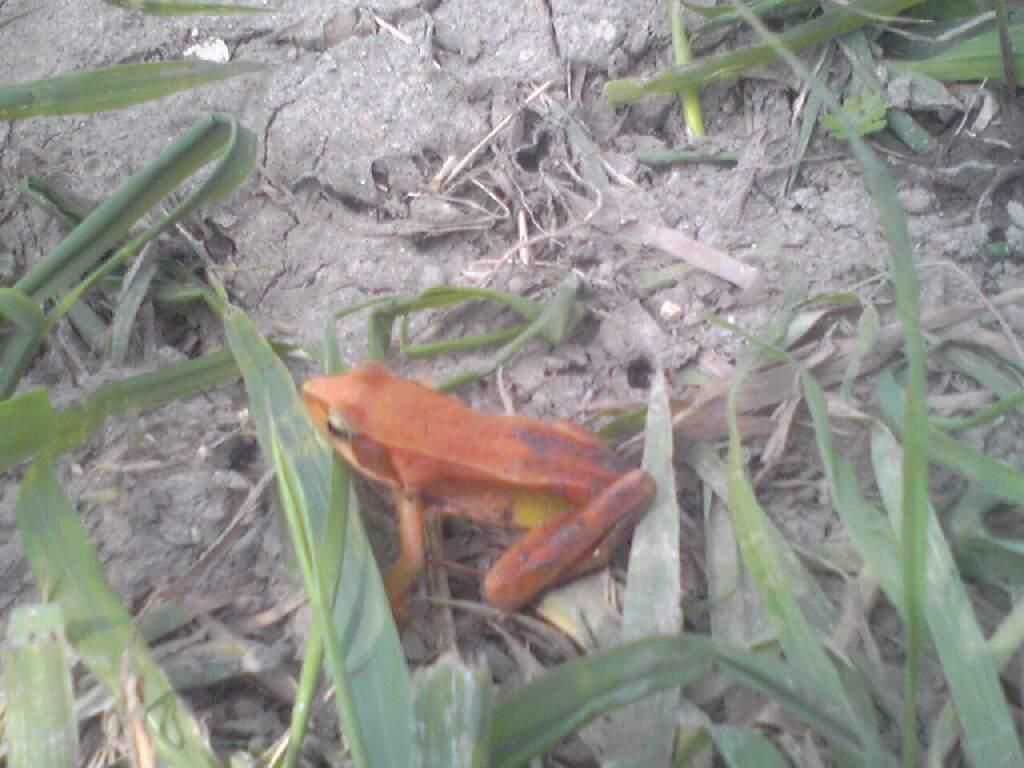 オレンジ色のカエル