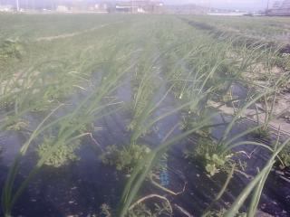 玉ねぎ草引き